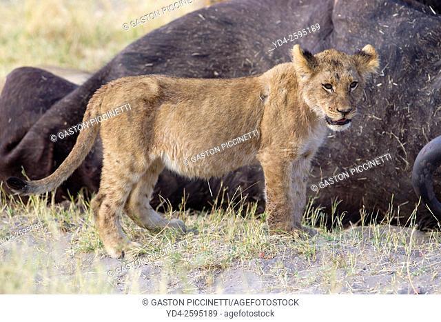 African lion (Panthera leo) - Cub, Savuti, Chobe National Park, Botswana