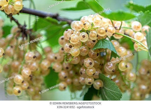 White currants (Ribes rubrum) growing on a vine ,Bialystok, Poland