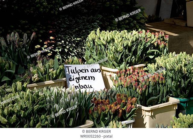 tulip stand