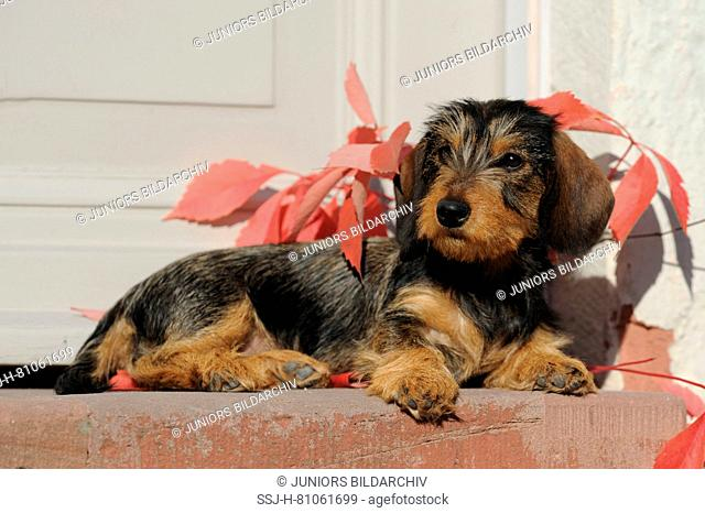 Wire-haired Dachshund. Puppy lying in front of a door. Germany