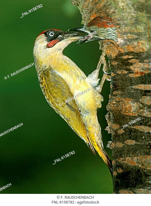 Green woodpecker, Picus viridis, feeding fiedgling