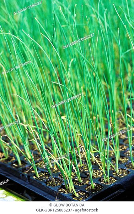Close-up of wheatgrass growing in a farm