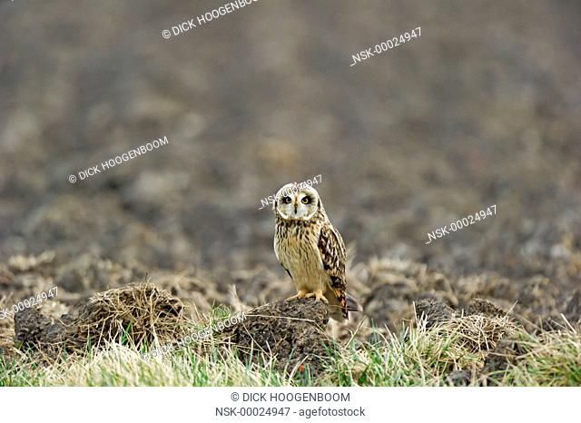This Short-eared Owl (Asio flammeus) is watching and listening for mice, The Netherlands, Zuid-Holland