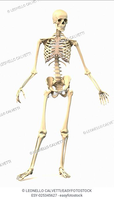Male Human skeleton, extremely detailed and scientifically correct, in dynamic posture, front view. On white background, clipping path included