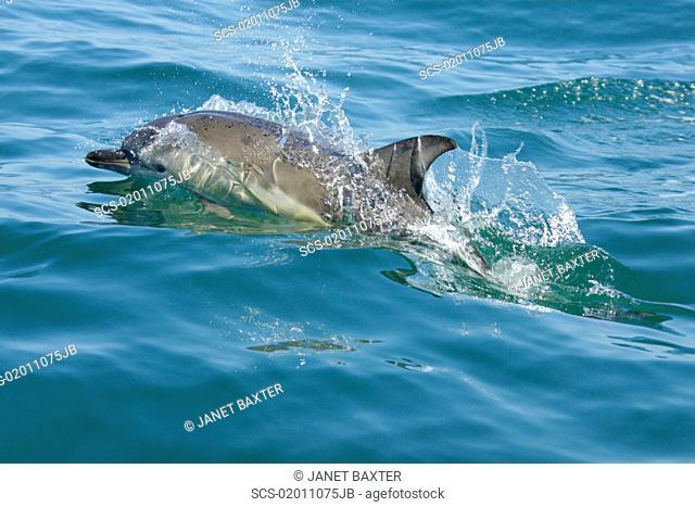 Short-beaked common dolphin Delphinus delphis Pembrokeshire, Wales, UK RR