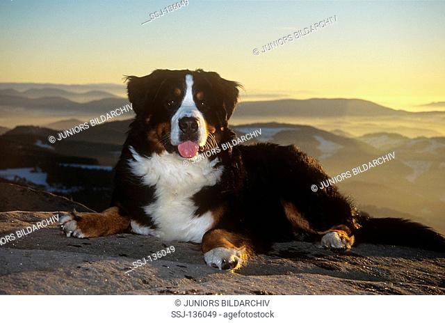 Bernese Mountain dog - lying