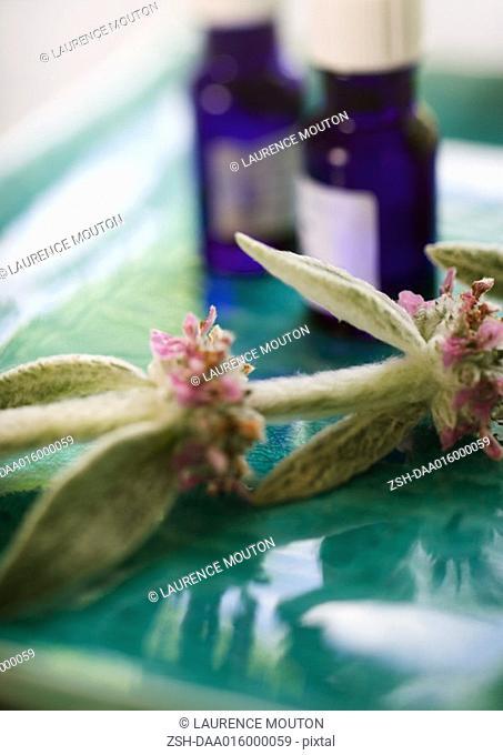 Sprig of sage and bottles of essential oils