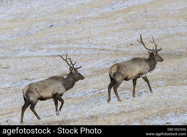 Asie, Mongolie, Parc national Hustai, Cheval de Przewalski Cerf rouge ouu Cerf élaphe (Cervus elaphus) dans la montagne / Asia, Mongolia, Hustai National Park