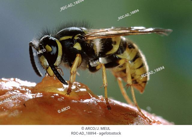 German Wasp Belgium Paravespula germanica Vespula germanica