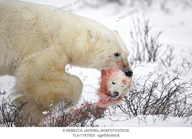 A male bears carries the head of a cub of the year he killed and consumed