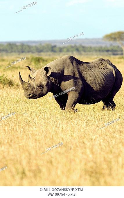Black Rhinoceros - Masai Mara National Reserve, Kenya