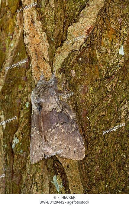 Lobster moth (Stauropus fagi), adult on bark, Germany