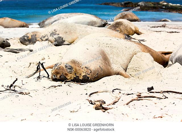 Elephant Seal (Mirounga leonina) adult covered in sand moulting and resting on beach, Falkland Islands, Sea Lion Island