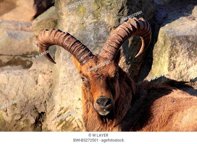Nubian ibex Capra caucasica, Capra ibex caucasica, portrait