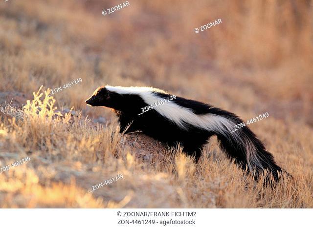 Skunk Stinktier NM USA