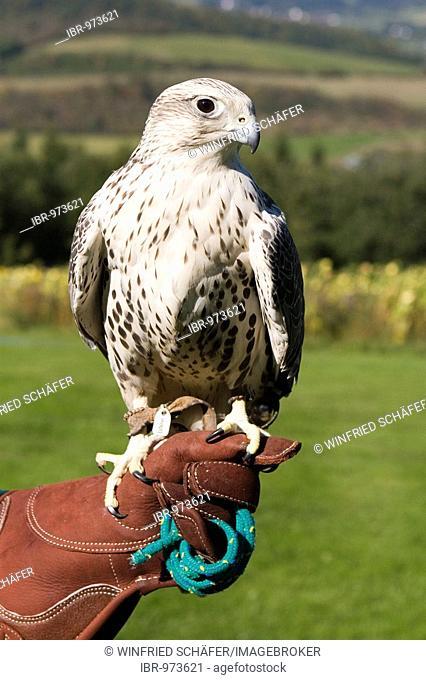 Falcon, Gyrfalcon-Saker Falcon (Falco hybrid), on the hand of a falconer, Daun wildlife park, Vulkaneifel area, Rhineland Palatinate, Germany, Europe
