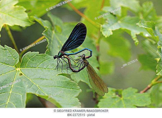 Beautiful Demoiselles (Calopteryx virgo), mating, mating heart shape, male, left, Ummendorfer Ried, Germany, Europe