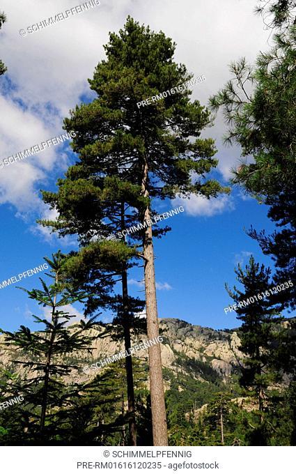 Forêt d'Aitone, Black Pine Forest, Les Deux-Sevi, Corsica, France / Forêt d'Aitone, Schwarzkiefernwald, Les Deux-Sevi, Korsika, Frankreich