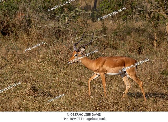 Africa, Uganda, East Africa, black continent, pearl of Africa, Great Rift, Lake Mburo, national park, antelopes, black heel antelopes, Impala, artio, ruminant