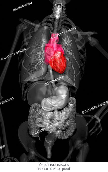 Internal human anatomy and organ systems