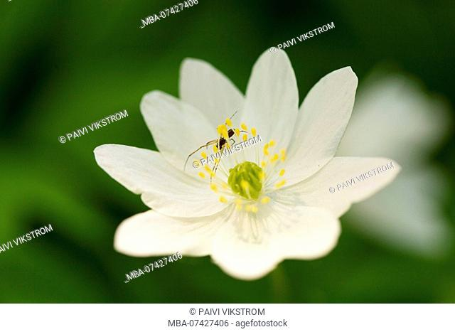 Close-up of wood anemone, Anemone nemorosa, spider on petal