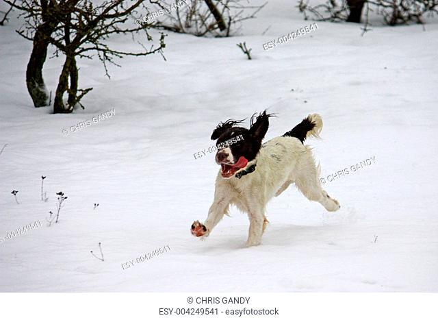 Working English Springer Spaniel running in the snow