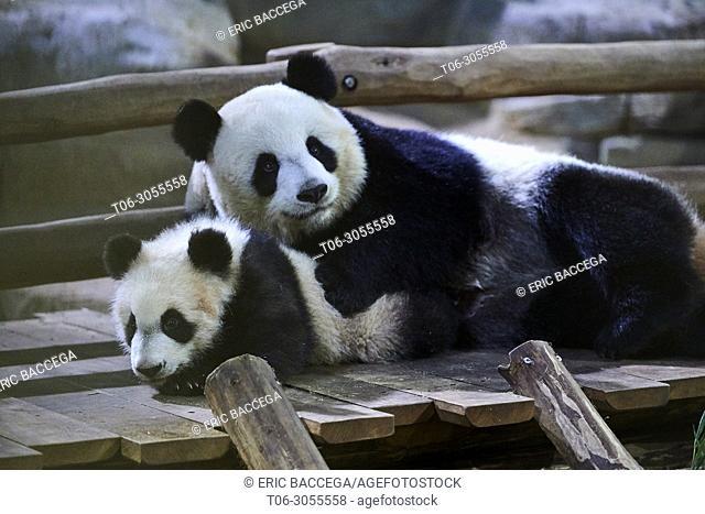 Giant Panda cub (Ailuropoda melanoleuca). Yuan Meng, first Panda even born in France, is now 8 month old, Zooparc de Beauval, Saint Aignan sur Cher, France
