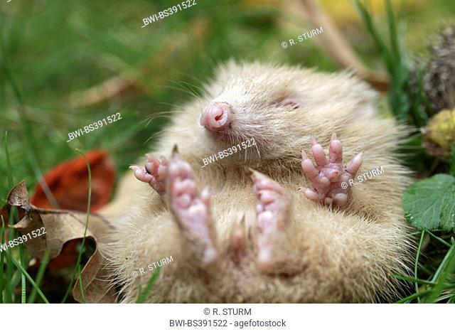 Western hedgehog, European hedgehog (Erinaceus europaeus), albino unrolling, Germany, Bavaria
