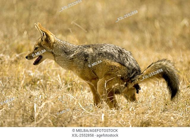 Canis mesomelas. Black-backed jackal. Ngorongoro conservation area. Tanzania. Africa