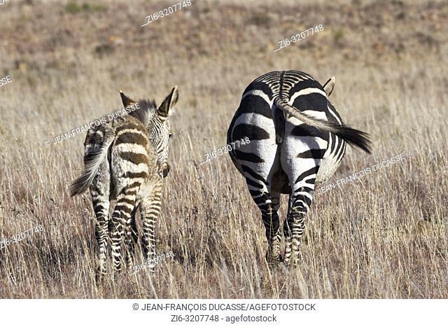 Cape mountain zebras (Equus zebra zebra), adult with zebra foal walking in open grassland, Mountain Zebra National Park, Eastern Cape, South Africa, Africa