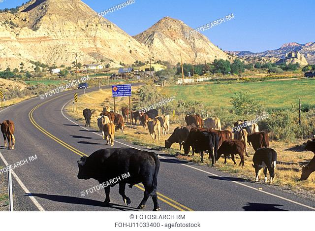 Cattle drive on Route 12