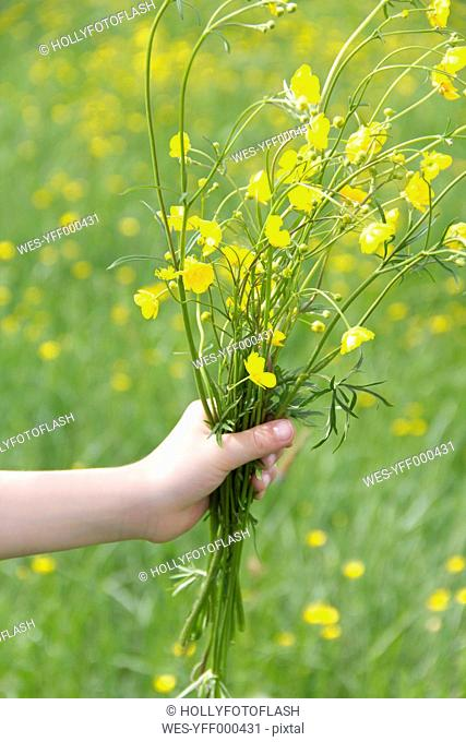 Little girl's hand holding bunch of buttercups