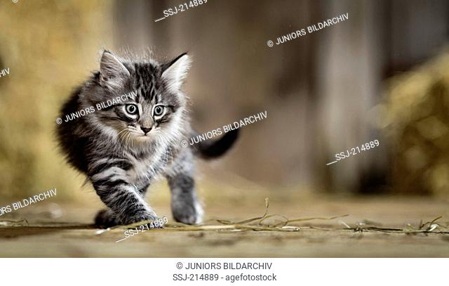 Norwegian Forest Cat. Kitten walking in a barn. Germany
