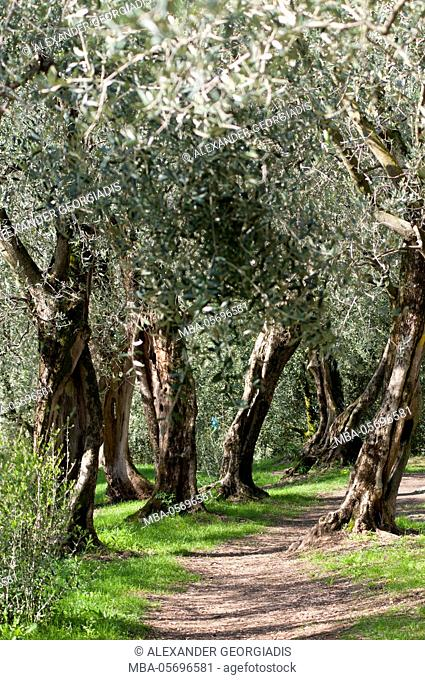 Olive trees with way in olive grove