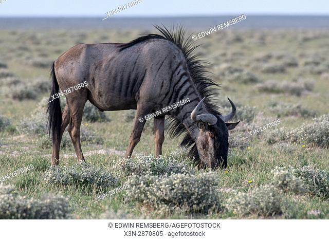 Blue wildebeest grazing at Etosha National Park in Namibia, Africa