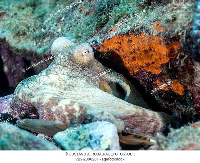 Common octopus octopus vulgaris ON reef