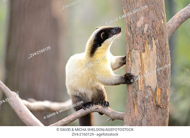 Yellow-throated marten (Martes flavigula) climbing on a tree