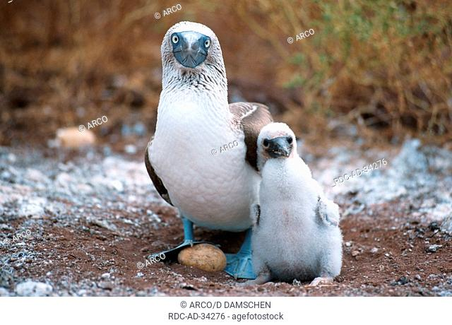 Blue-footed Booby at nest with chick and egg North Seymour Island Galapagos Islands Ecuador Sula nebouxii
