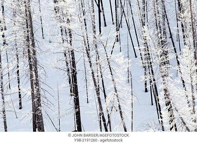 Frosted lodgepole pines and snow, Madison Valley, Yellowstone National Park, Wyoming, USA