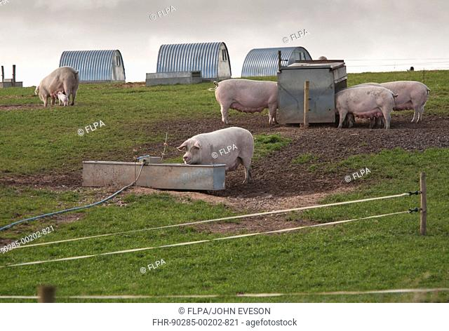 Pig farming, freerange sows on commercial outdoor unit, with drinking trough, feeders and arcs, Bilsthorpe, Nottinghamshire, England, October