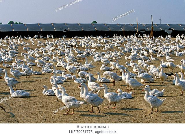 geese farming in Hungary
