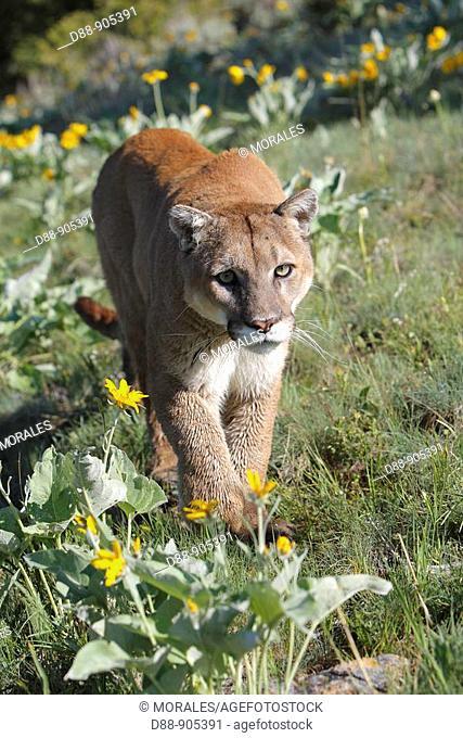Cougar (Puma concolor). Montana, USA