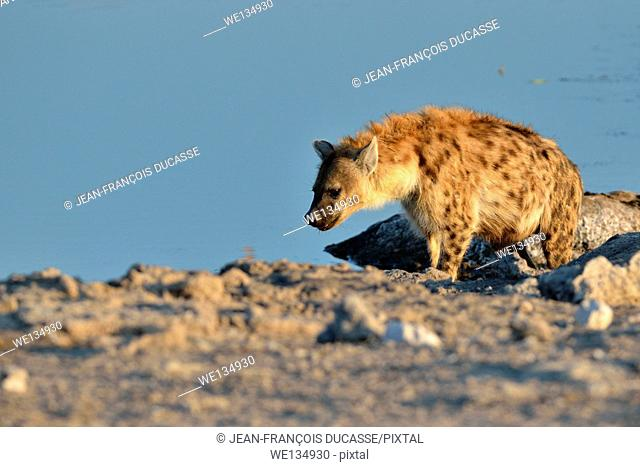 Spotted Hyena (Crocuta crocuta), at a waterhole, in late afternoon, Etosha National Park, Namibia, Africa