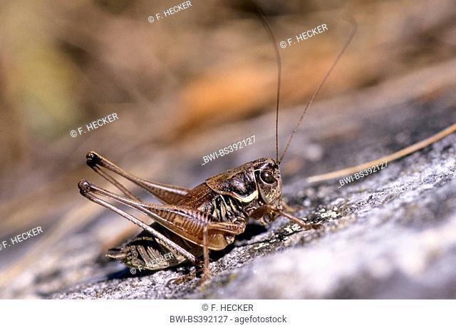 Serbian Pygmy Bush-cricket, Serbian Pygmy Bush cricket (Anterastes serbicus, Anterastes petkovskii), male