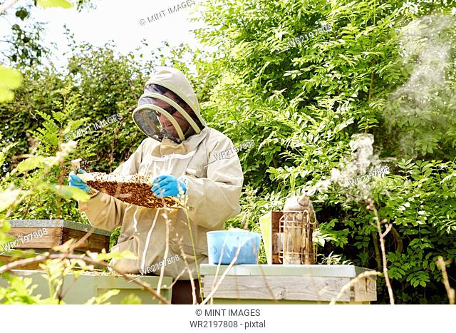 A beekeeper in a beekeeping suit with face protector checking and opening his hives