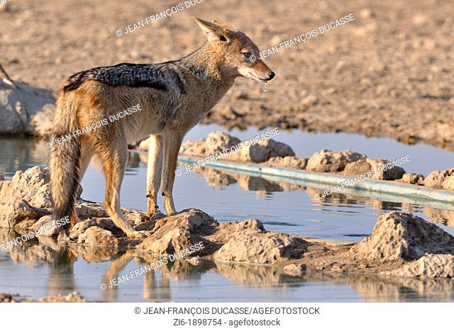 Black-backed Jackal, Canis mesomelas, drinking at the waterhole, Kgalagadi Transfrontier Park, Northern Cape, South Africa