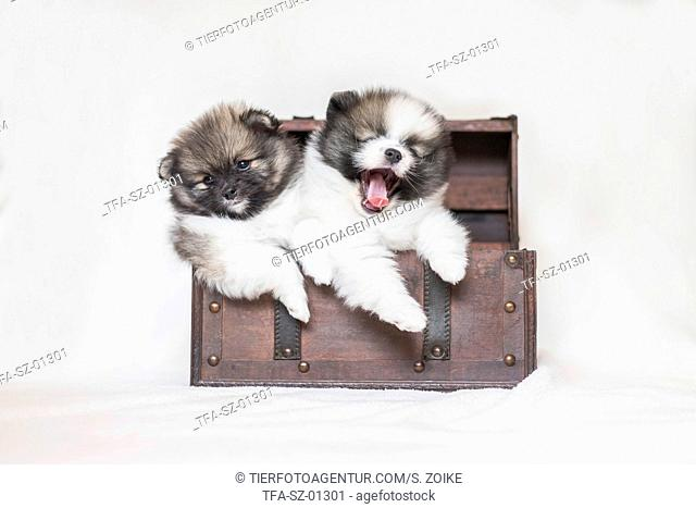 Pomeranian Puppies in front of white background