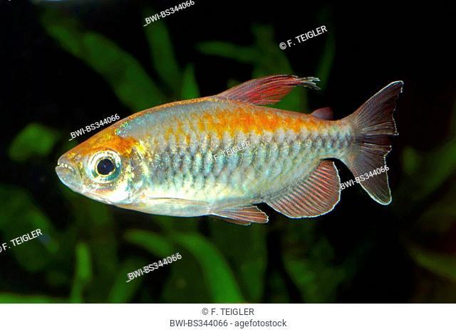 congo tetra, Bleher's Congo-Tetra (Phenocogrammus interruptus), swimming