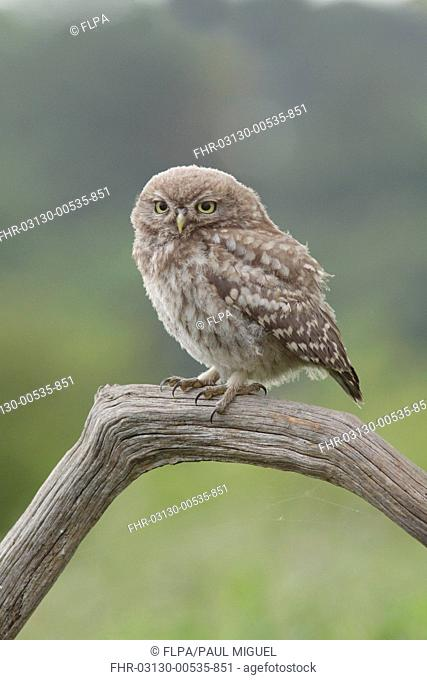 Little Owl (Athene noctua) juvenile, perched on dead branch in farmland, West Yorkshire, England, July
