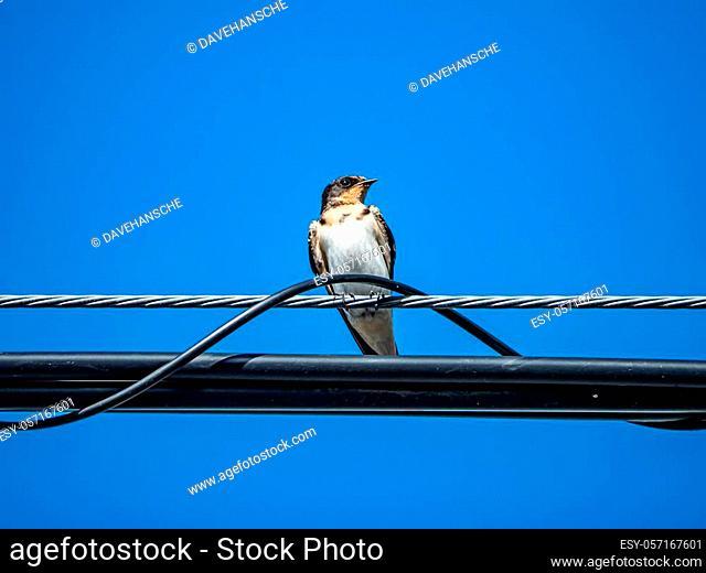 A Japanese barn swallow, hirundo rustica gutturalis, perches on a power line in an apartment complex in Kanagawa, Japan